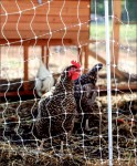 Chirp — The Liberty Farm will now feature egg-laying chickens and meat chickens. Photo credit: Leah Seavers
